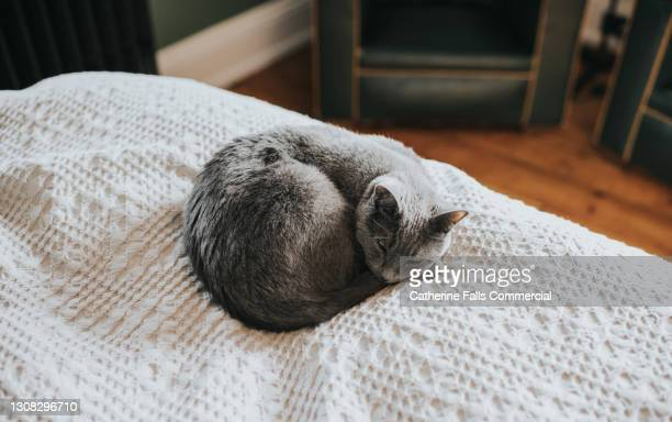 curled up grey cat sleeps on a soft bed on top of a blanket - pure bred cat stock pictures, royalty-free photos & images