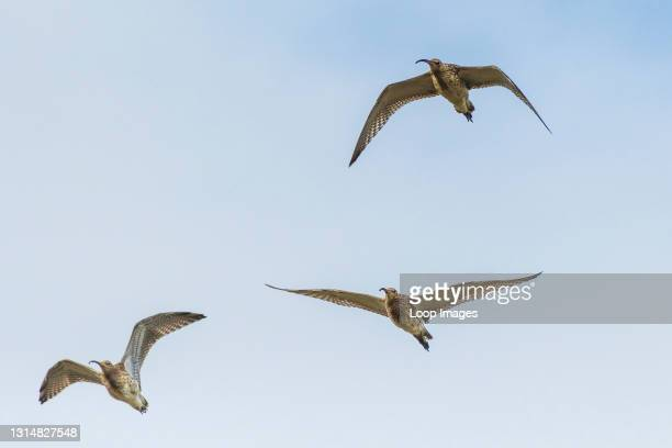 Curlews in flight Numenius arquata.