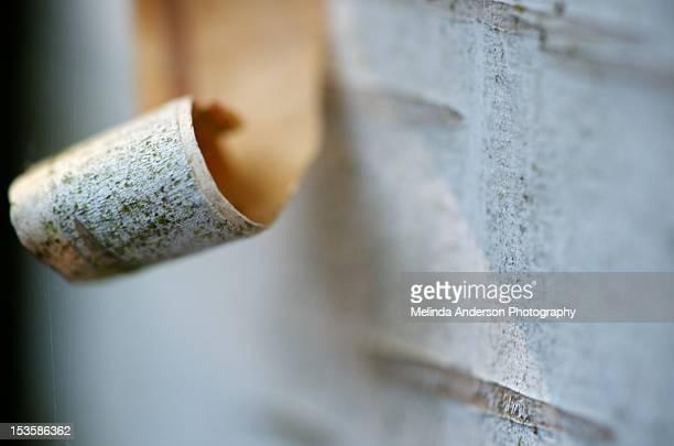 Curling birch bark