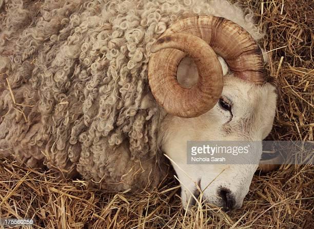 Curly horned ram
