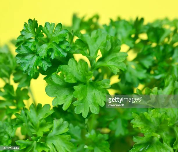 Curly Parsley Green leaves. Green herbs