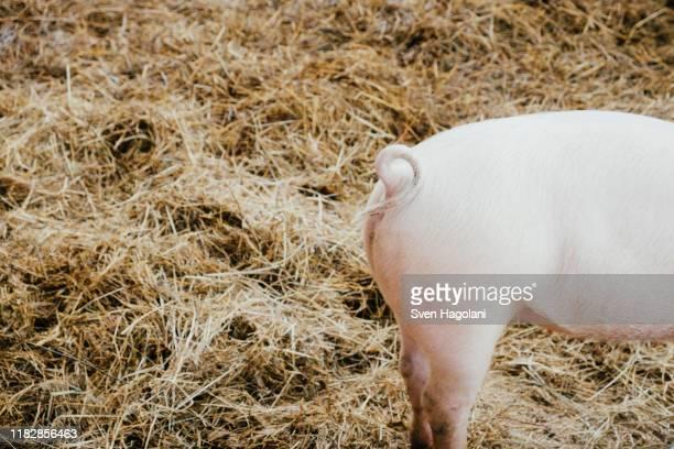 curly tail on pink piglet in hay - nutztier stock-fotos und bilder