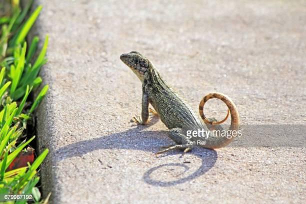 Curly-tailed Lizard -Leiocephalus carinatus