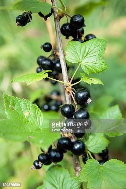 Currant Blackcurrant Ribes nigrum Ripe fruit on a bush