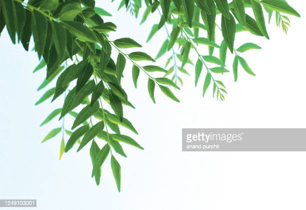 curry leaves - staple in indian food dishes - ニーム ストックフォトと画像