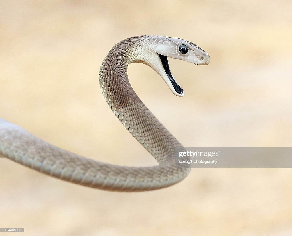 Black mamba stock photos and pictures |.