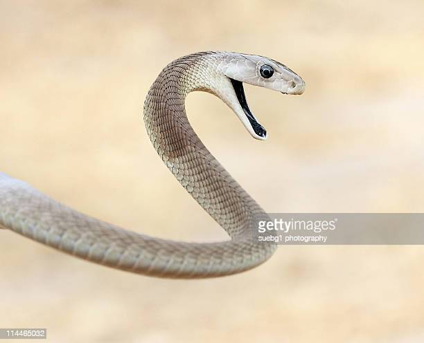 curse of  black mamba - black mamba stock photos and pictures