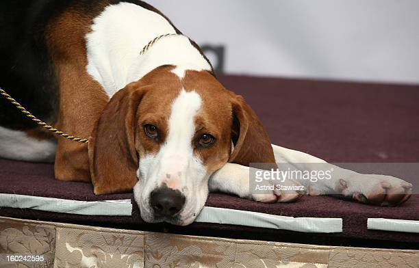 30 Top Coonhound Pictures, Photos and Images - Getty Images