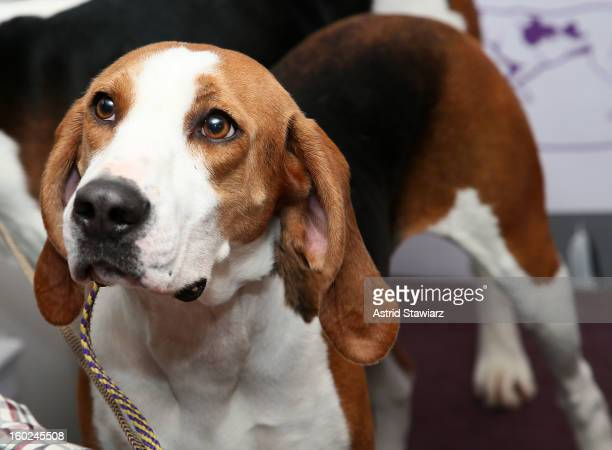 Curt Willis and his Treeing Walker Coonhound dog 'Meg' attend The Westminster Kennel Club 137th Annual Dog Show Press Conference at Affinia on...