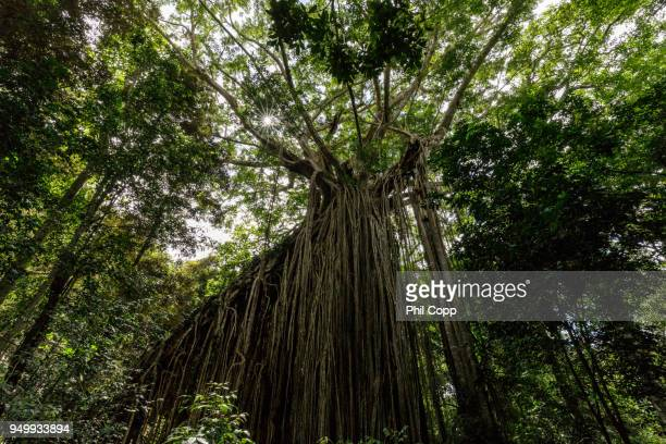curtain fig tree - atherton tableland stock pictures, royalty-free photos & images