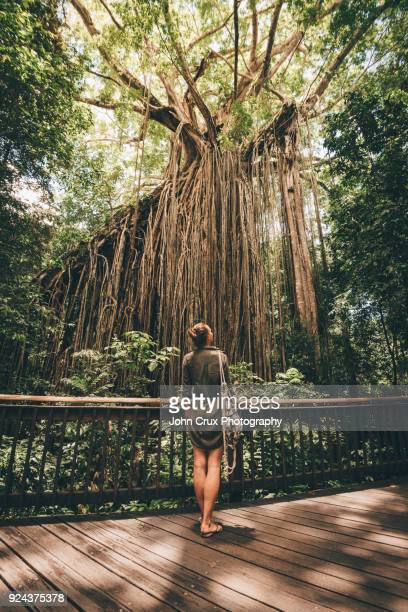 curtain fig tree tourist - cairns stock photos and pictures
