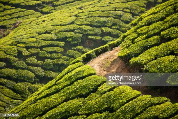 curve on a hill in a tea plantation in munnar - flowering plant stock pictures, royalty-free photos & images