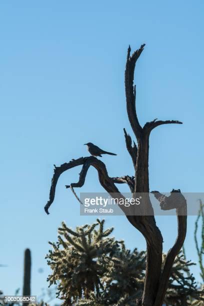Curve-billed Thrasher on Dead Ironwood Tree