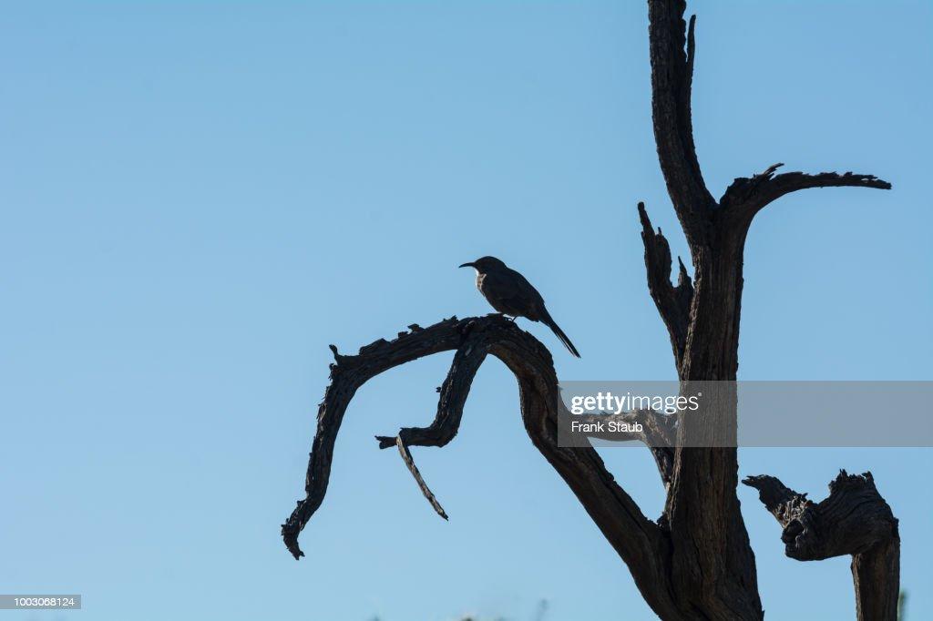 Curve-billed Thrasher on Dead Ironwood Tree : Foto de stock