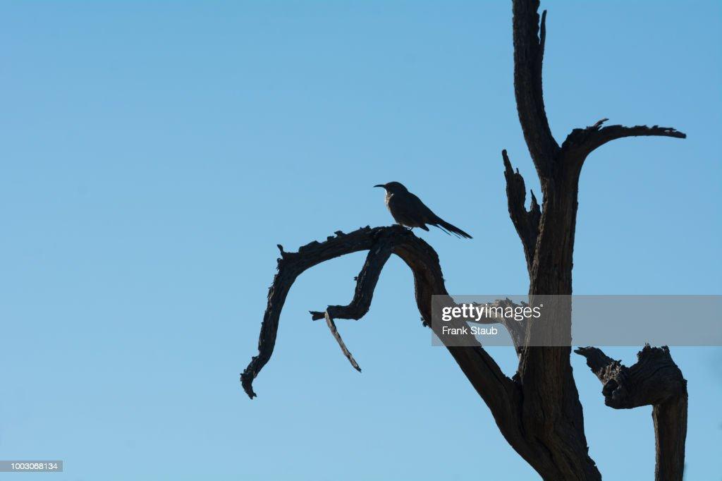 Curve-billed Thrasher on Dead Ironwood Tree. : Foto de stock