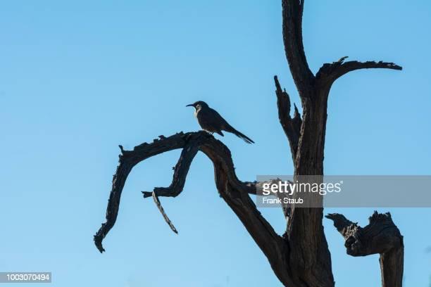 Curve-billed Thrasher on Dead Ironwood Tree.