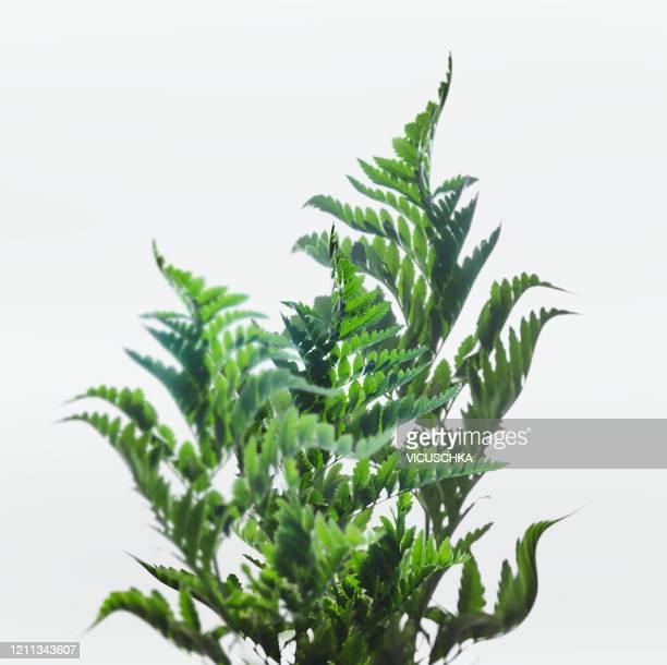 curved fern leaves on white background - varen stockfoto's en -beelden