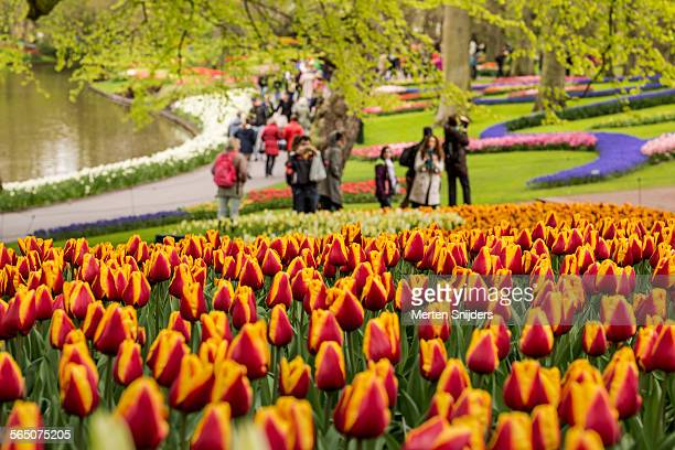 curved flower bed of tulips at keukenhof - keukenhof gardens stock pictures, royalty-free photos & images