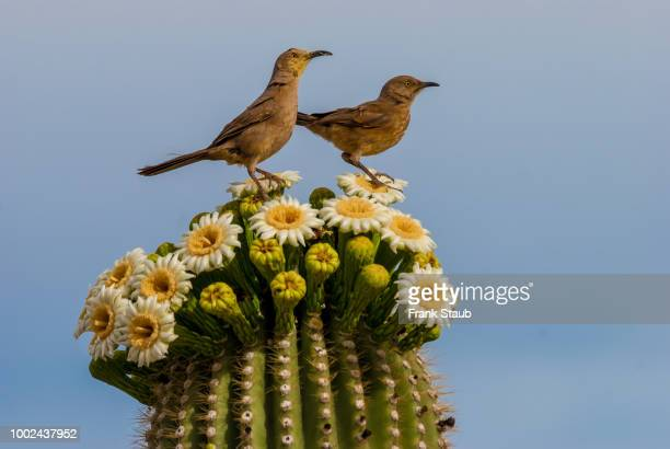 Curved-Billed Thrasher Mother and Young
