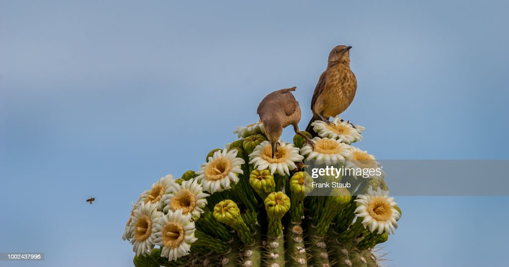 Curved-Billed Thrasher Mother and Young : Foto de stock