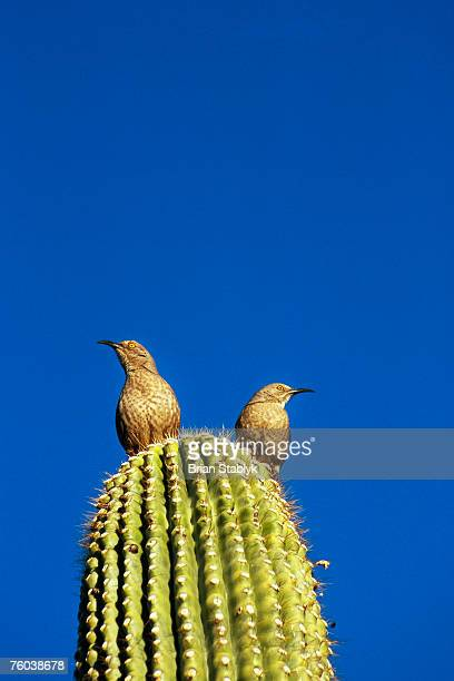 Curved-billed Thrashers (Toxostoma curvirostre) on saguaro cactus (Carnegiea gigantean), low angle view