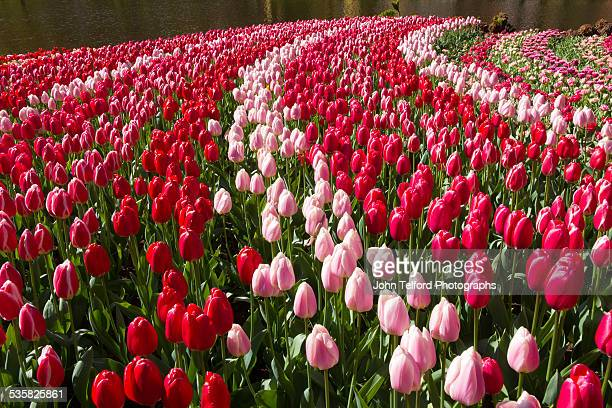 Curving rows of red and Pink Tulips