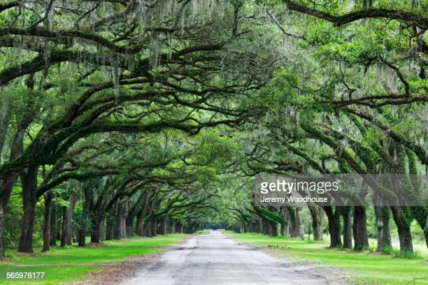 curving trees growing over gravel path - southern usa stock pictures, royalty-free photos & images