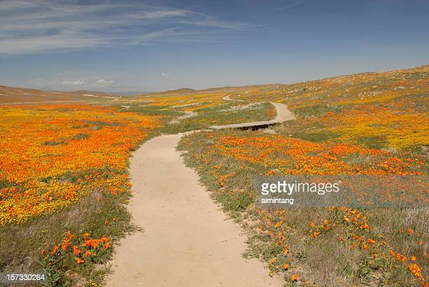 curvy trail at antelope valley poppy reserve - california golden poppy stock pictures, royalty-free photos & images