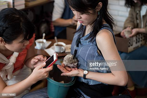 A customer holds a small hedgehog at Harry Hedgehog's cafe in Roppongi district of Tokyo Japan on June 12 2016 The hedgehog's cafe is one of the new...