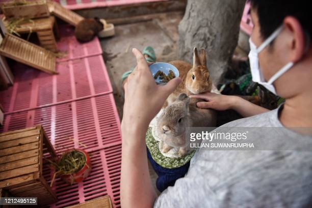 A customer in face mask feeds rabbits at the reopened Rabbito Cafe following temporary closure due to concerns of the COVID19 coronavirus epidemic in...