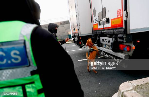 Customs dog inspects a truck coming from Britain at the harbour of Calais, northern France, on January 1 on the day that the Brexit transition period...