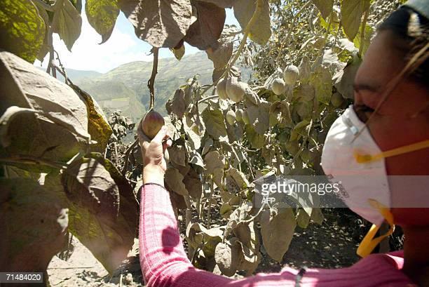 Una mujer obseva un sembrio de tomates afectado por la caida de ceniza en el poblado de Cusua el 19 de julio de 2006 La actividad del volcan...