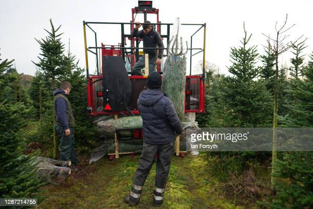 Cut and netted fir trees are loaded into pallets ahead of distribution on November 23, 2020 in York, England. York Christmas Trees have this year...