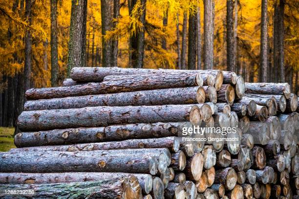 cut and stacked larch trunks, behind the larch forest with autumn colors. - italia stock-fotos und bilder
