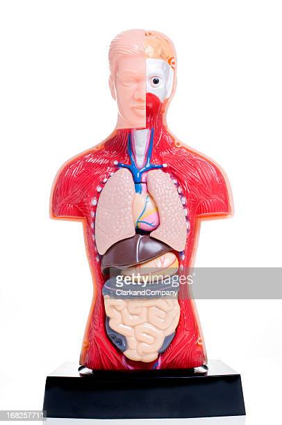 cut away human anatomy model against white background - human stomach internal organ stock photos and pictures