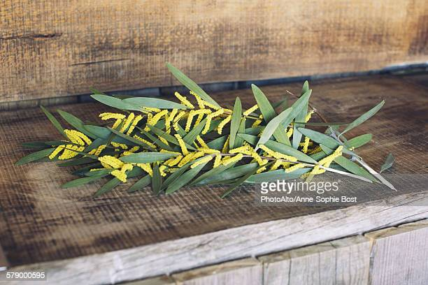 cut branches of sydney golden wattle (acacia longifolia) - acacia tree stock photos and pictures