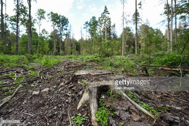 Cut down trees in forest area seen on August 09 2017 near Bialowieza Poland The Bialowieza National Park is best known for the protection of the...