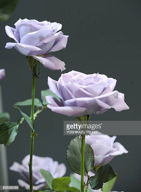 Cut flowers of blue rose are displayed at the International Flower Expo in Chiba city suburban Tokyo on November 1 2008 Japanese beverage company...