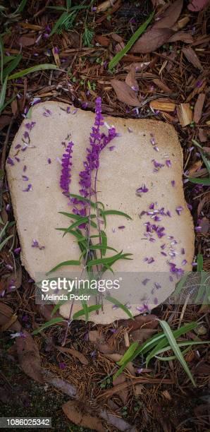 Cut flowers of Salvia leucantha, Mexican bush sage