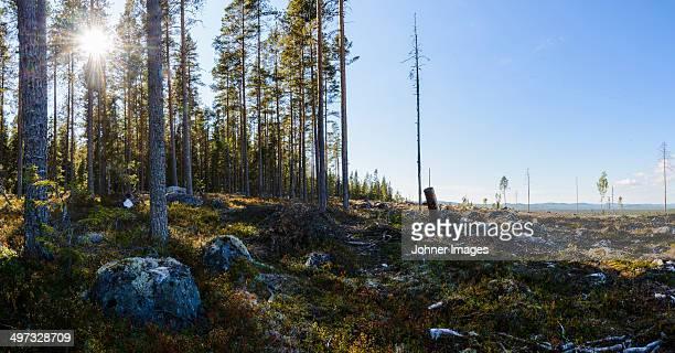 Cut forest, Orsa, Dalarna, Sweden