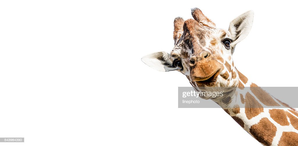 Cut Out Giraffe On White Background Photos Com