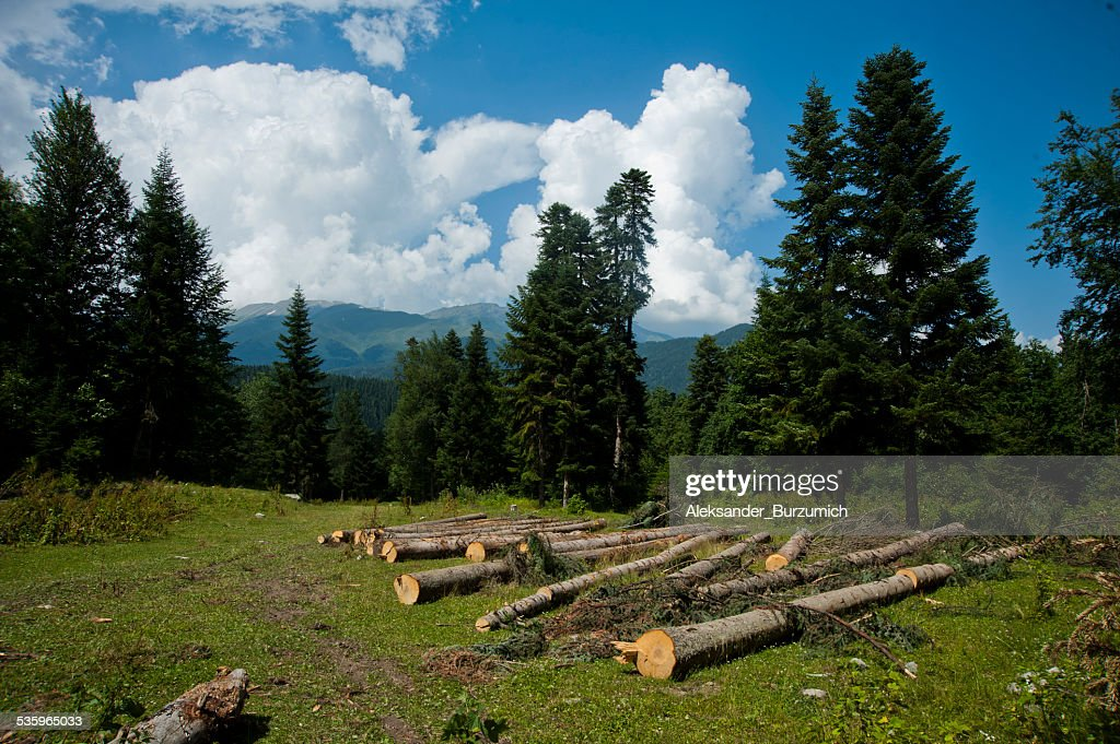 Cut trees in the mountains : Stock Photo
