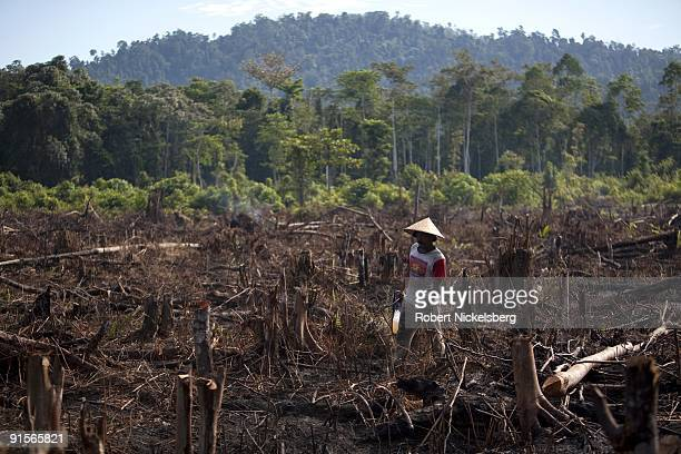 Cut trees lie burning on the ground of a 250 acre plot cleared by ten local farming families June 8 2009 in Suaq Balimbing Aceh province Indonesia...