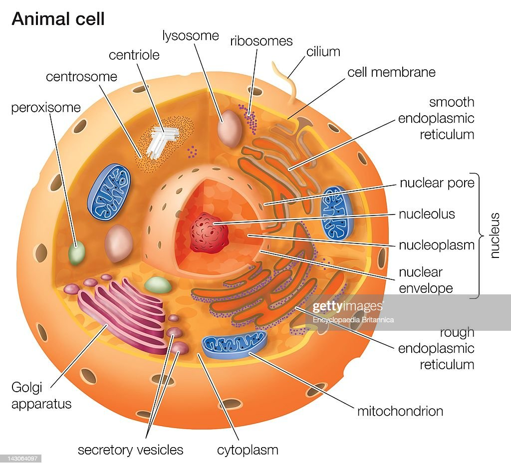 Cutaway drawing of a eukaryotic animal cell