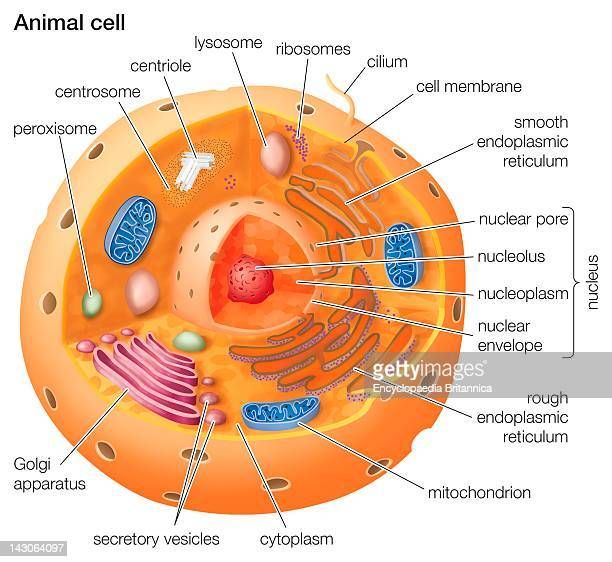 Golgi Apparatus Stock Photos and Pictures | Getty Images