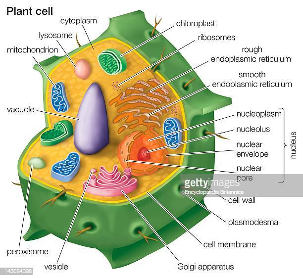 Eukaryotic Cell Stock Photos And Pictures Getty Images