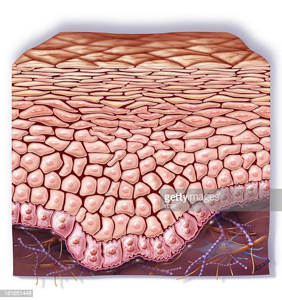 Cutaway View Of A Healthy Skin At The Level Of The Epidermis Horny Layer Granular Layer Basal Cell Layer Basal Layer