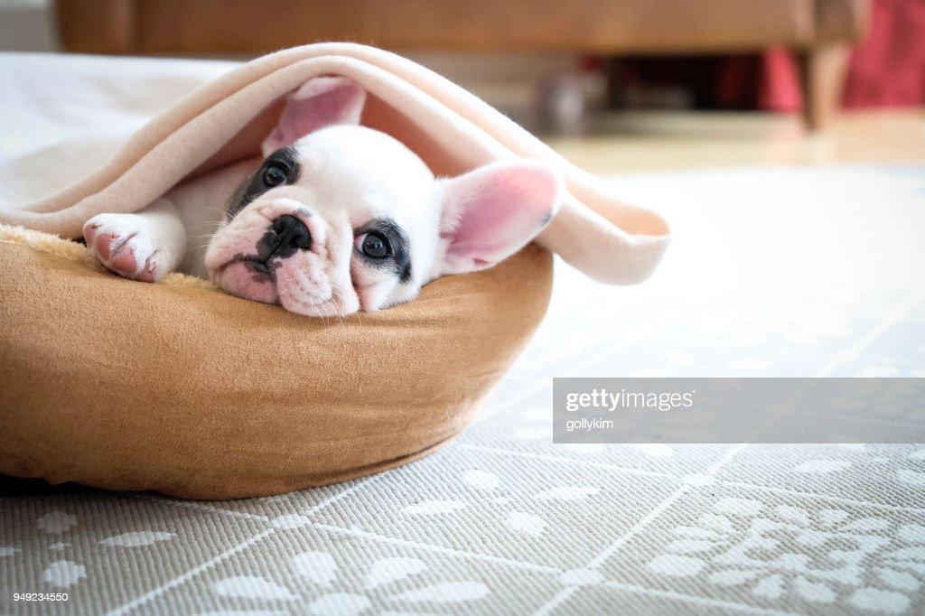 Bonitos 8 semanas de idade Pied francês Bulldog cachorrinho descansando em sua cama : Foto de stock
