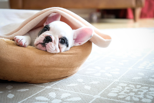 Cute 8 weeks old Pied French Bulldog Puppy resting in her bed 949234550