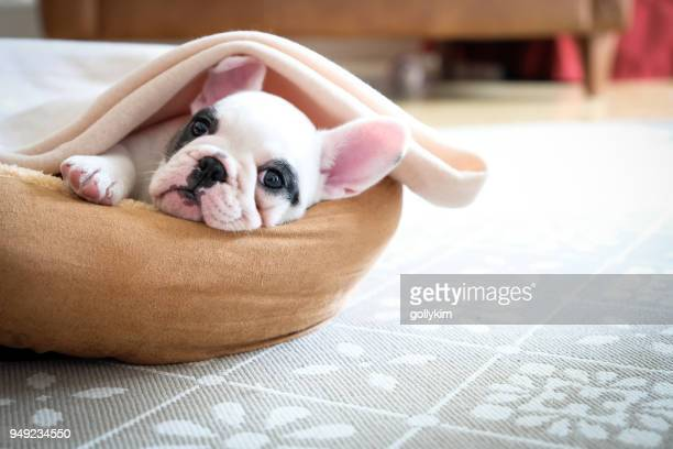 Cute 8 weeks old Pied French Bulldog Puppy resting in her bed
